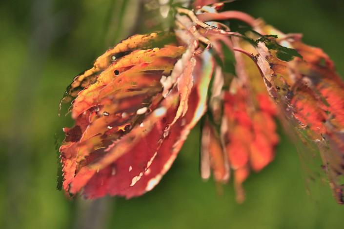 Autumnleaves 1