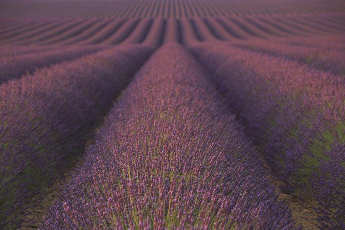 Lavendel Provence 2017