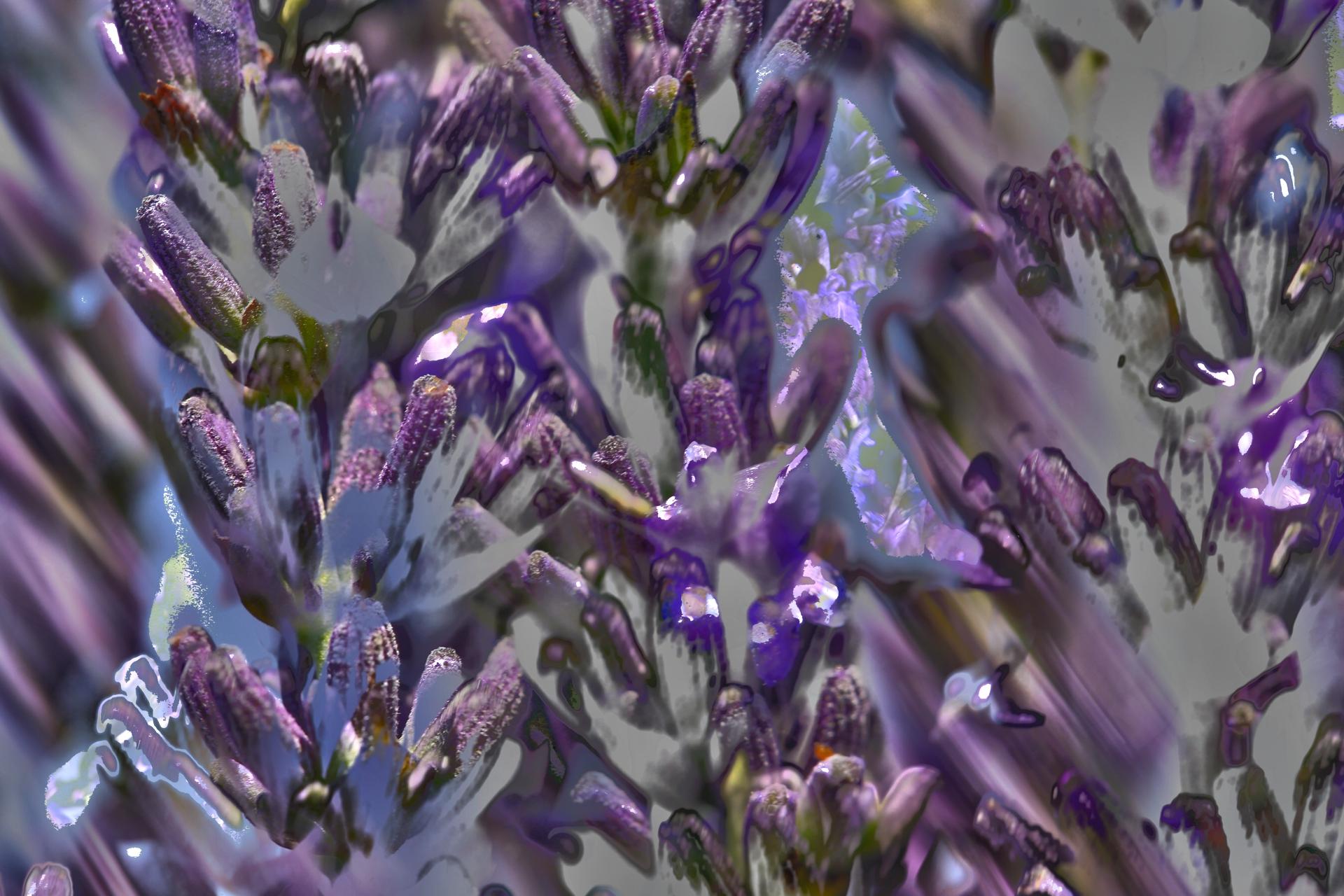 Lavendel 2020